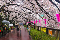 Hình ảnh mùa anh đào Nhật Bản