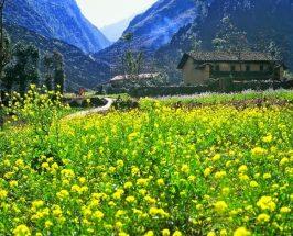 cánh đồng hoa cải