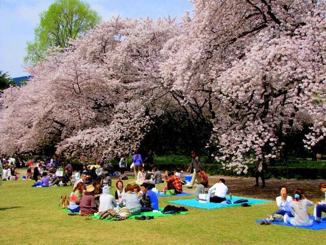 Hình ảnh mùa hoa đào Nhật Bản