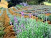 Điểm đến lãng mạn cho các cặp đôi du lịch Đà Lạt - Cánh đồng hoa Lavender
